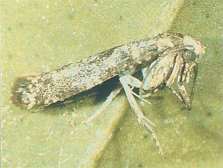 Polilla nocturna ( Prays citri ).Sus orugas constituyen una de las principales plagas en limoneros. El rollo verde. Región de Murcia.
