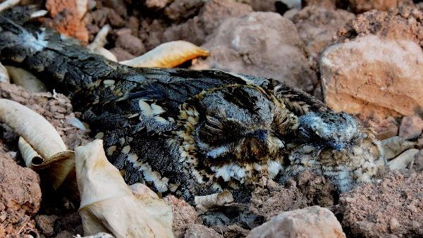 Chotacabras cuellirojo ( Caprimulgus ruficollis ) perfectamente camuflado. El rollo verde. Región de Murcia.