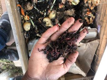 Eisenia Fetida earthworms for sale.jpeg