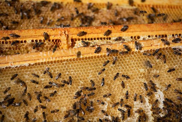 Bees (1 of 1)-2.jpg