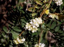 White Foam Flower