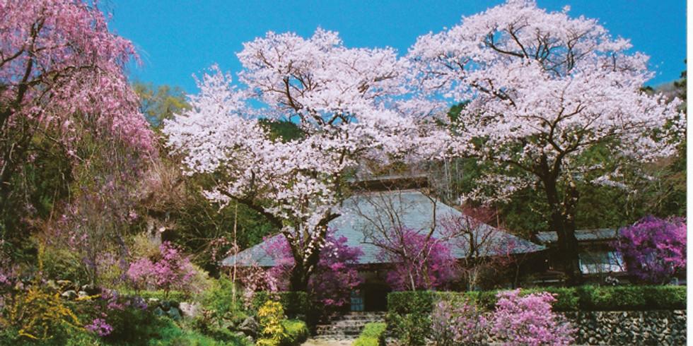 Spring Akikawa River 1 Day Private Tour   ~Cherry Blossoms~
