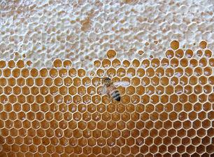 ミツバチ写真①.jpg