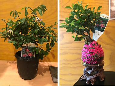 kokedama before after.jpg