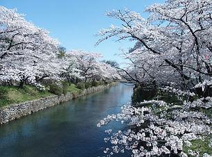 Cherry Hamura_01.JPG