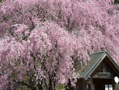 Viewing Beautiful Cherry Blossoms