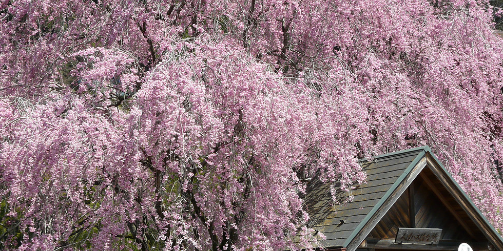 Spring Cherry Blossoms 2 Days Private Tour