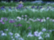 Iris Park_01.jpg