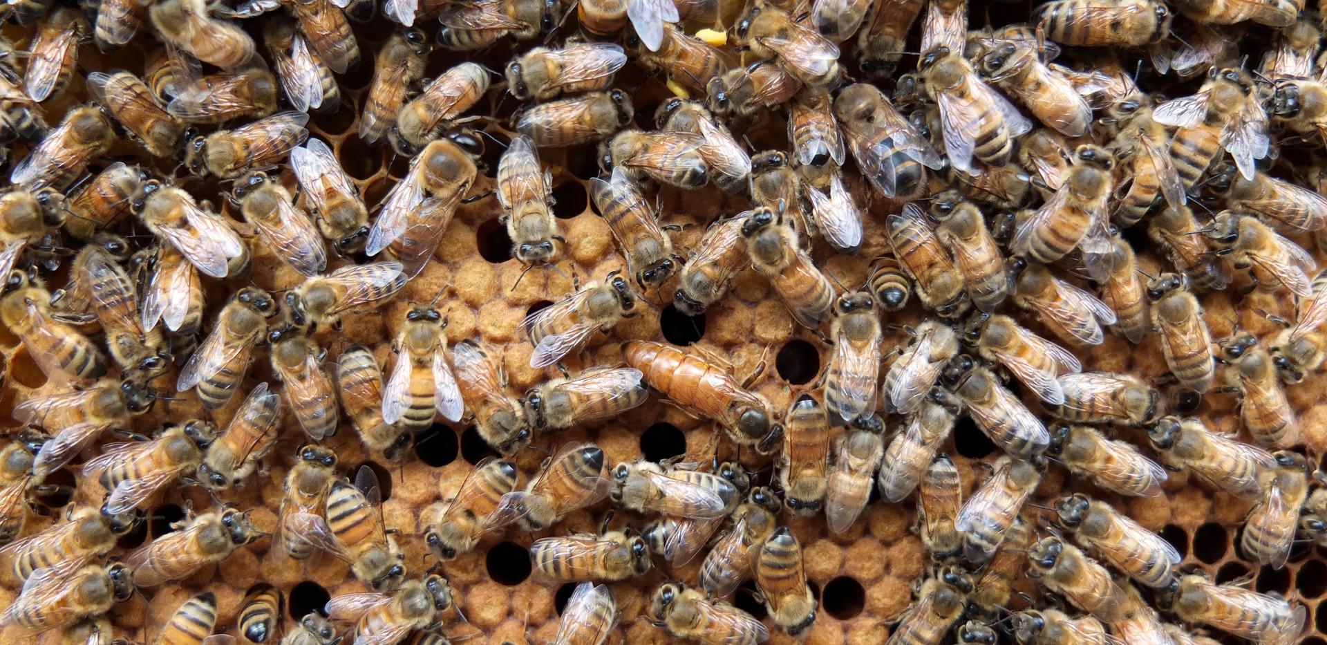 ミツバチ写真②.jpg