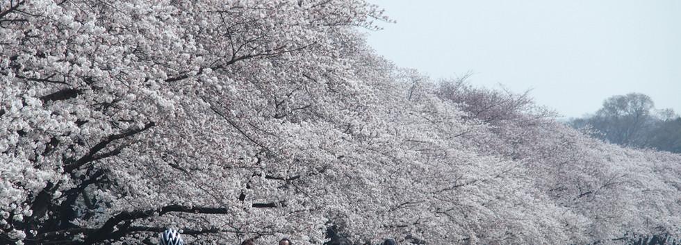 Cherry Fussa_01.JPG