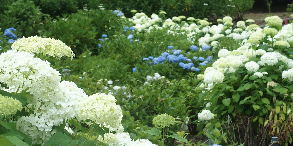 Hydrangea Mountain & Firefly Watching 2 Days Private Tour