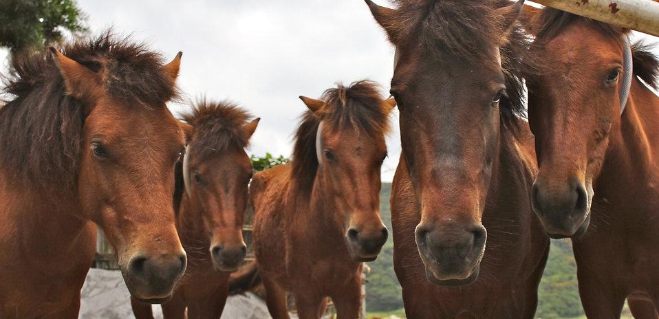 与那国馬風(う)牧場の馬たち