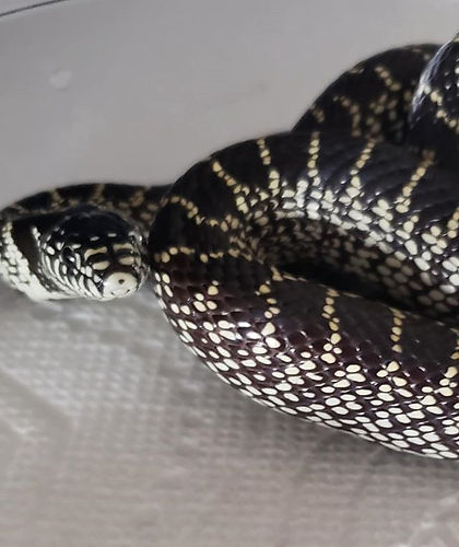 ADOPTED King Snake