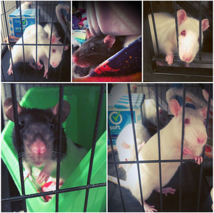 6 FEMALE Rats