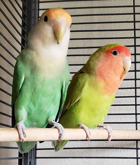 ADOPTED Lovebirds