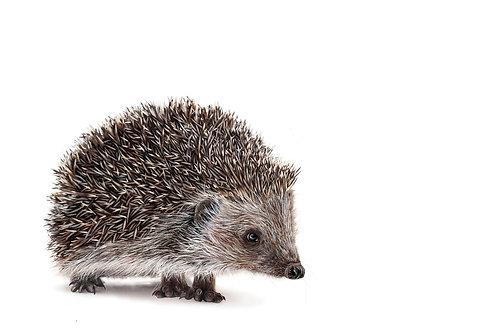 Hedgehog - Limited Edition Prints