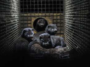 Mink Farms: The Impact of Coronavirus Beyond Humanity