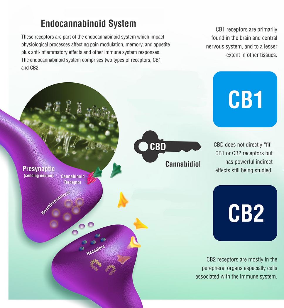 CBD GOLD DROPS ECS System Endocannabinoid