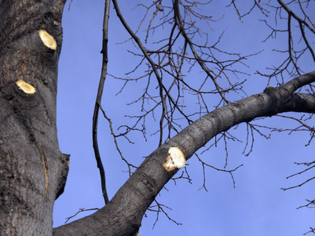 How to prune a tree | Tree Service