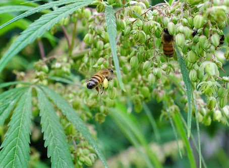 Could HEMP Save the Bees?