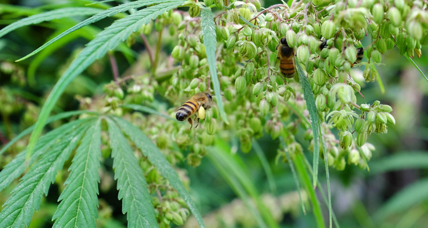 FEED THE BEES  Cannabis depends on wind for pollination, but it turns out bees are raiding male flowers (shown) in hemp fields to forage for pollen for babyfood.