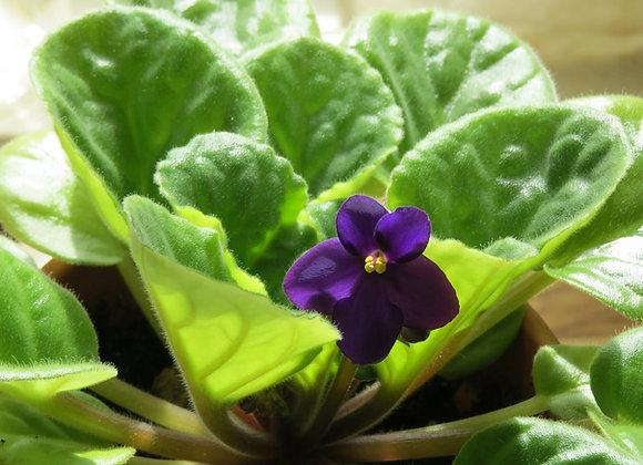 Violet Oil Perfume