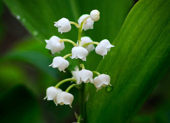Lily of The Valley -Fragrance Oil