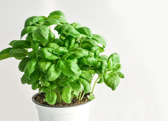 Basil Oil - 1/2 fl oz