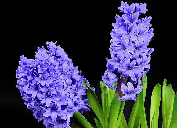 Hyacinth Oil - 1/2 fl oz