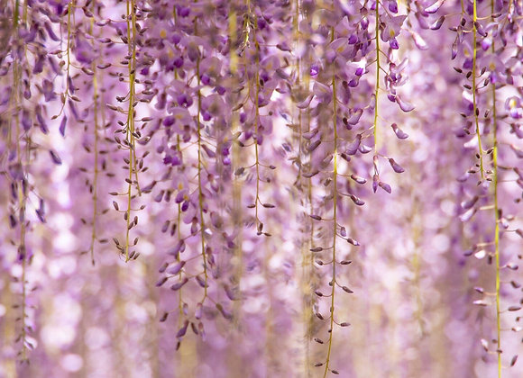 Wisteria -Fragrance Oil