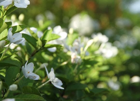 Gardenia  -Fragrance Oil