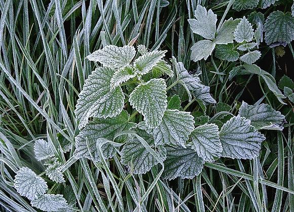 Winter Mint -Fragrance Oil