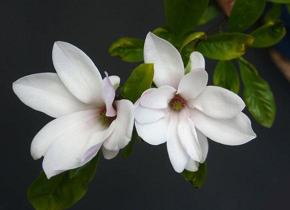 Magnolia -Fragrance Oil