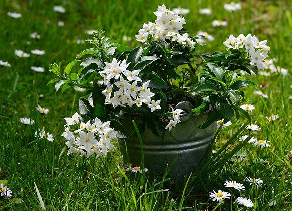 Jasmine -Fragrance Oil