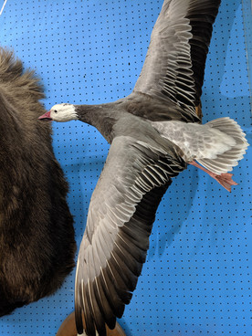 Starks Taxidermy Goose