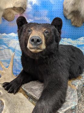 Starks Taxidermy Bear