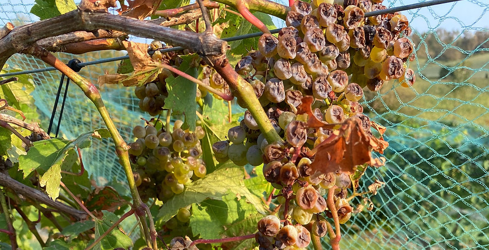 Derecho Storm Damaged Grapes