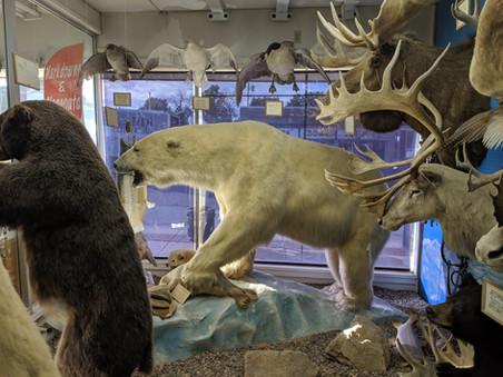 Starks Taxidermy Polar Bear