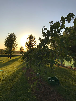 Wine Grapes at Sunrise