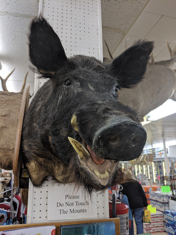 Taxidermny Boar