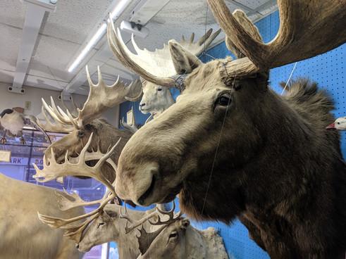 Starks Taxidermy Moose