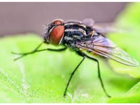 Why do flies rub their legs together?