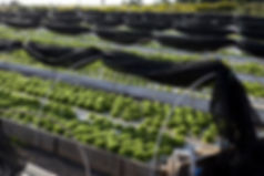 Aquaponic Farming Hawaii, Aquaponic Farms Hawaii, Sustainable Agriculture Hawaii, Zero Impact Farming, Water Footprint
