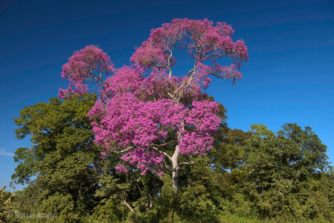 Piúva, Pantanal, Mato Grosso