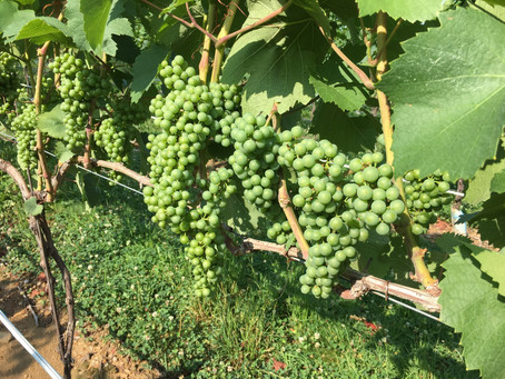 2019 Blaufrankisch/Lemberger grapes are looking good so far in Maryland.