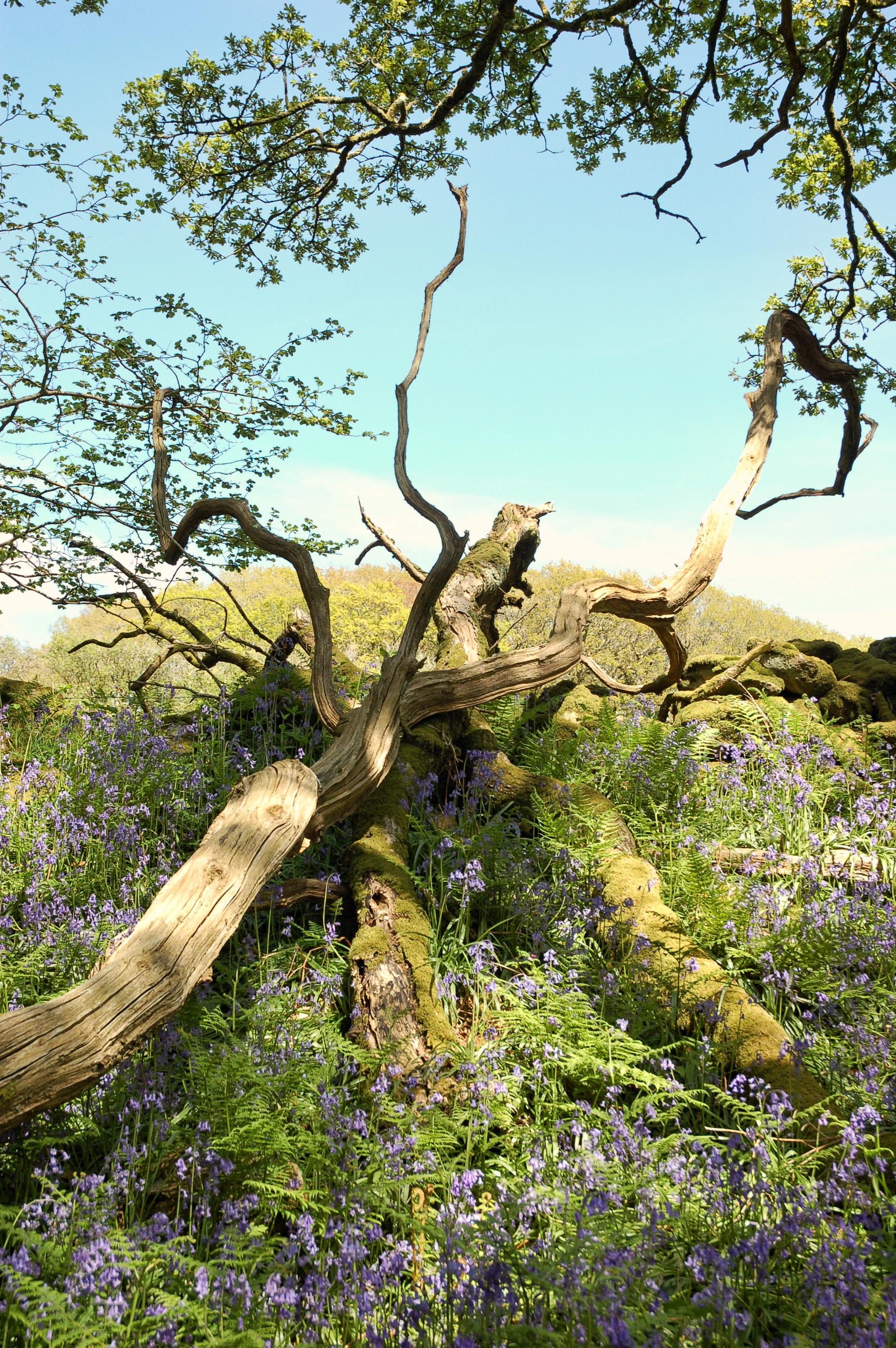 Devon bluebells