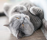 relaxing lying grey brittish cat screwin