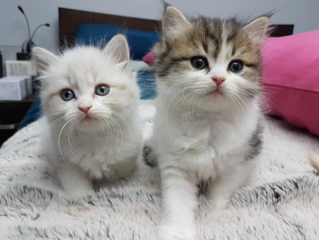 Interested in breeding pedigree cats?