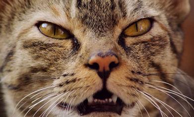 Aggressive-Katze.jpg
