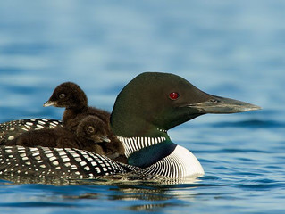 The Loons are back!